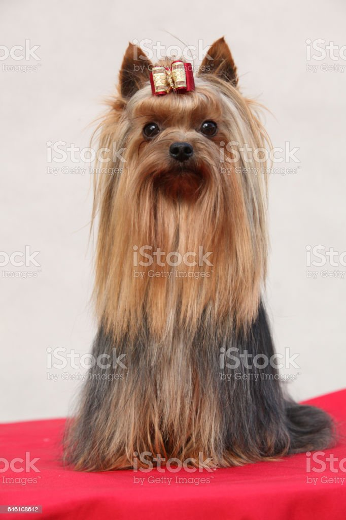 Amazing Yorkshire terrier in front of white wall stock photo