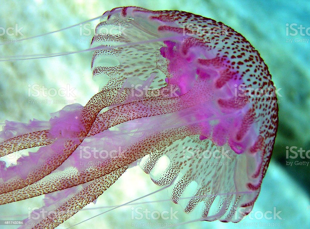 Amazingly Colorful Jellyfish stock photo