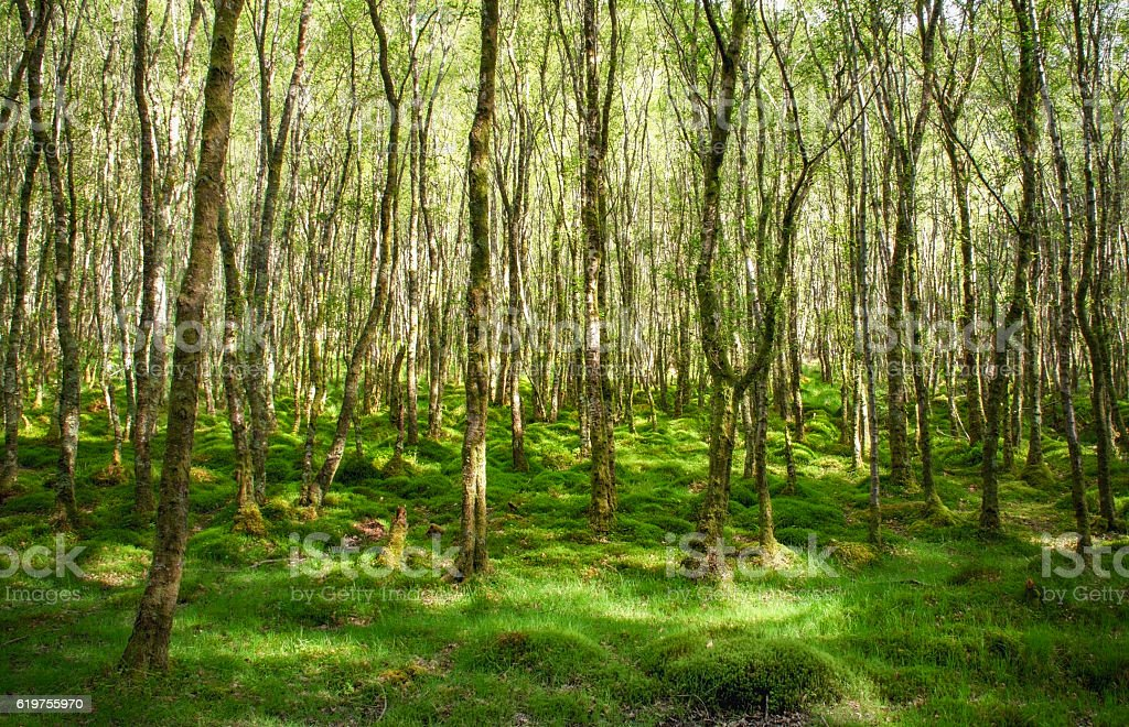 Amazingly green birch forest with lots of trees stock photo
