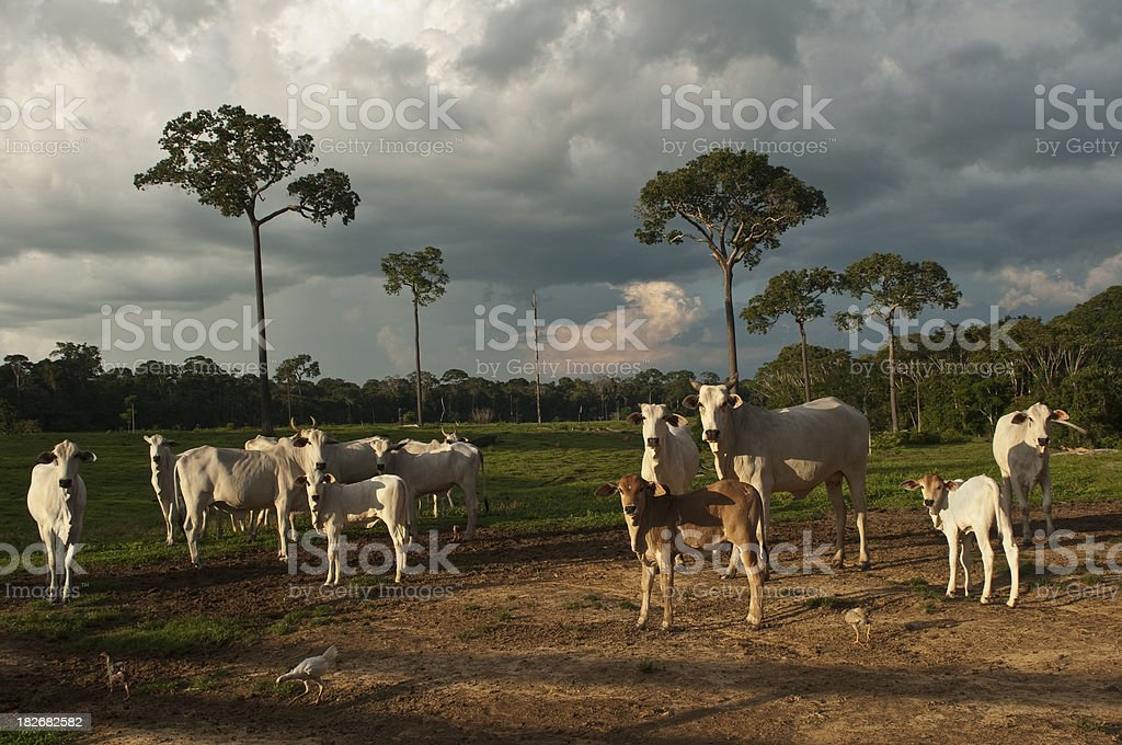 Amazon cattle farm royalty-free stock photo