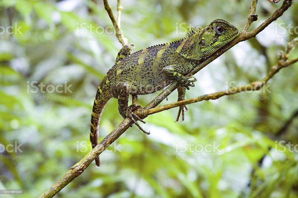 Amazon Forest Dragon stock photo