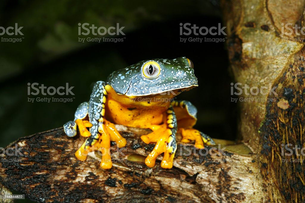 Amazon Leaf Frog (Cruziohyla craspedopus) royalty-free stock photo