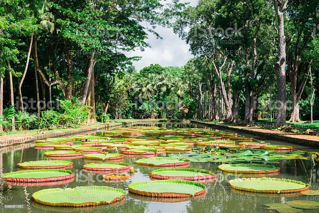 Amazon Lily Mauritius Island Pamplemousse Gardens stock photo