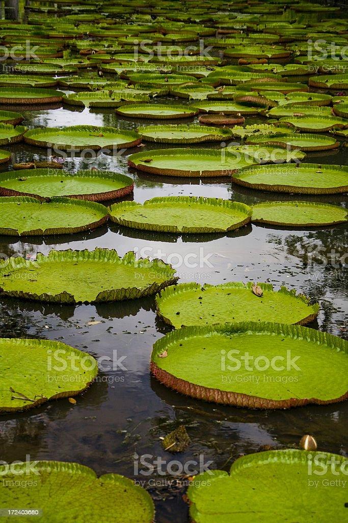 Amazon Lily stock photo