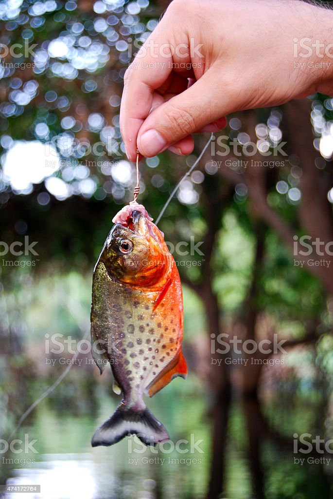 Amazon rainforest: Piranha fishing in the Amazon River near Manaus stock photo
