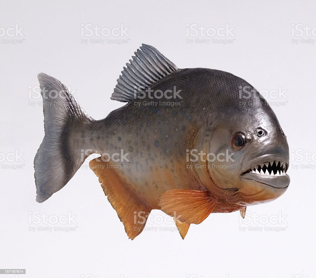 amazon river pirahna fish stock photo