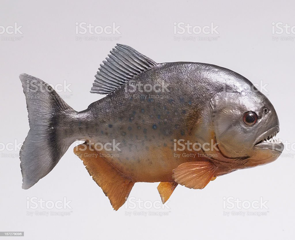 Amazon river pirahna fish side stock photo