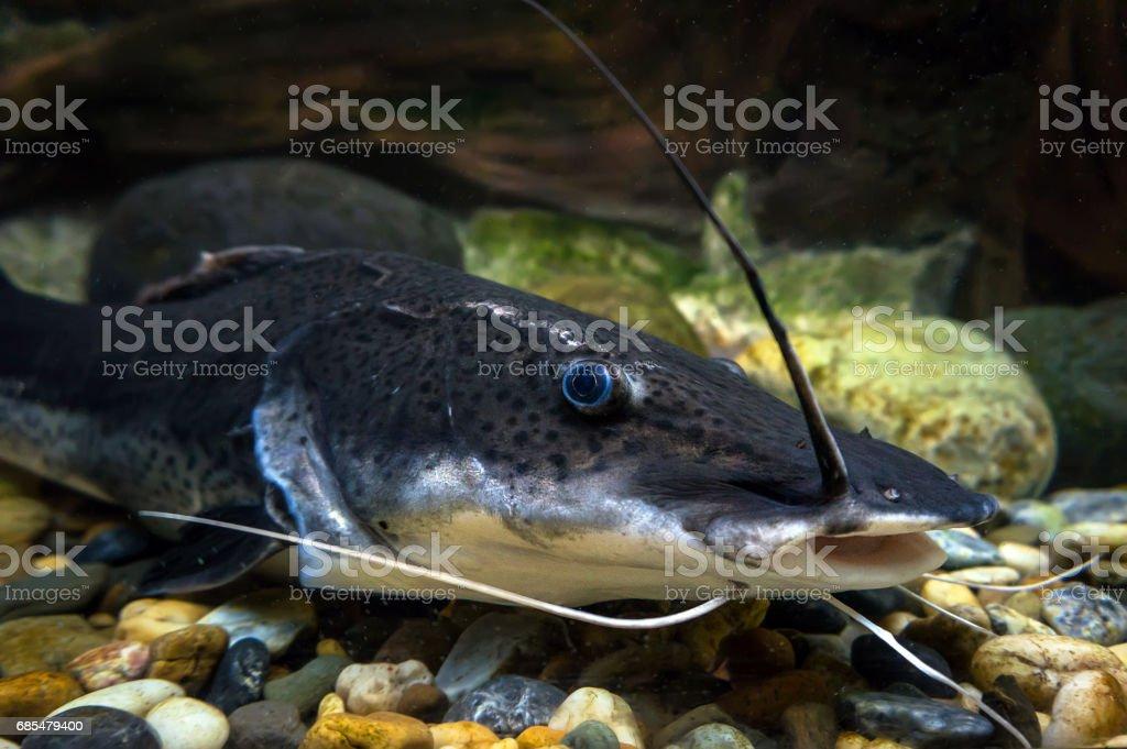 amazon sheatfish actocephalus nemioliopterus stock photo