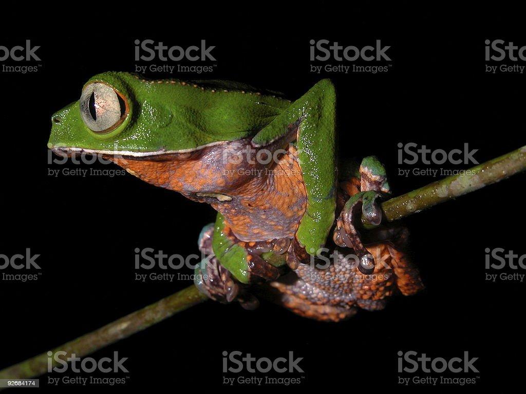 Amazon tree frog royalty-free stock photo