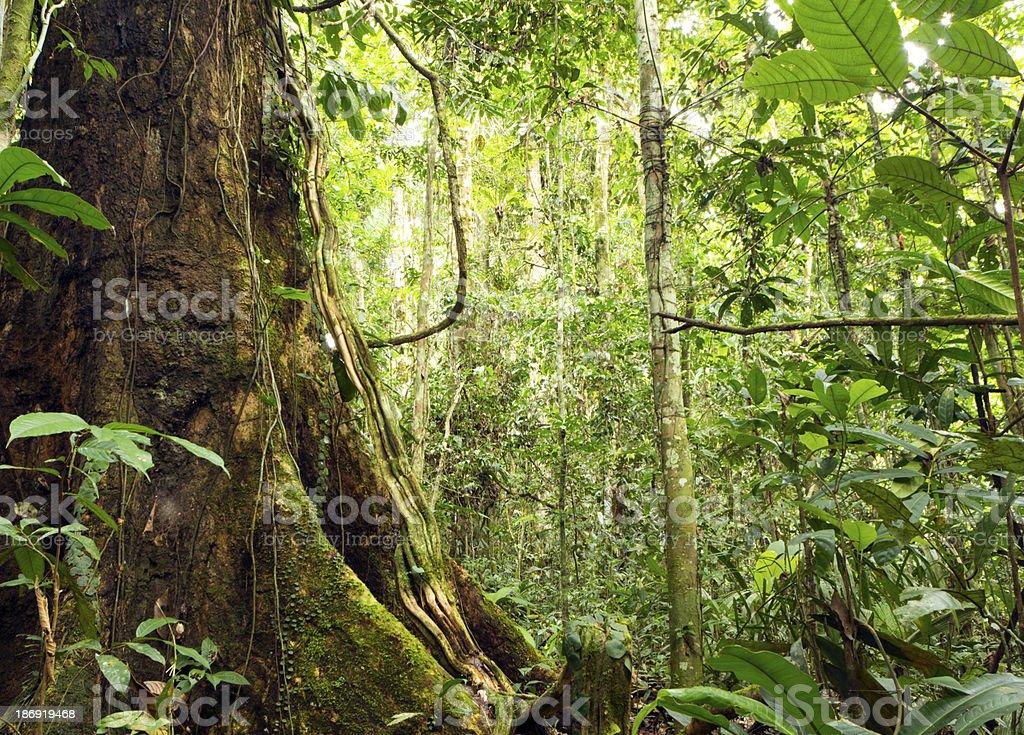 Amazonian tree stock photo