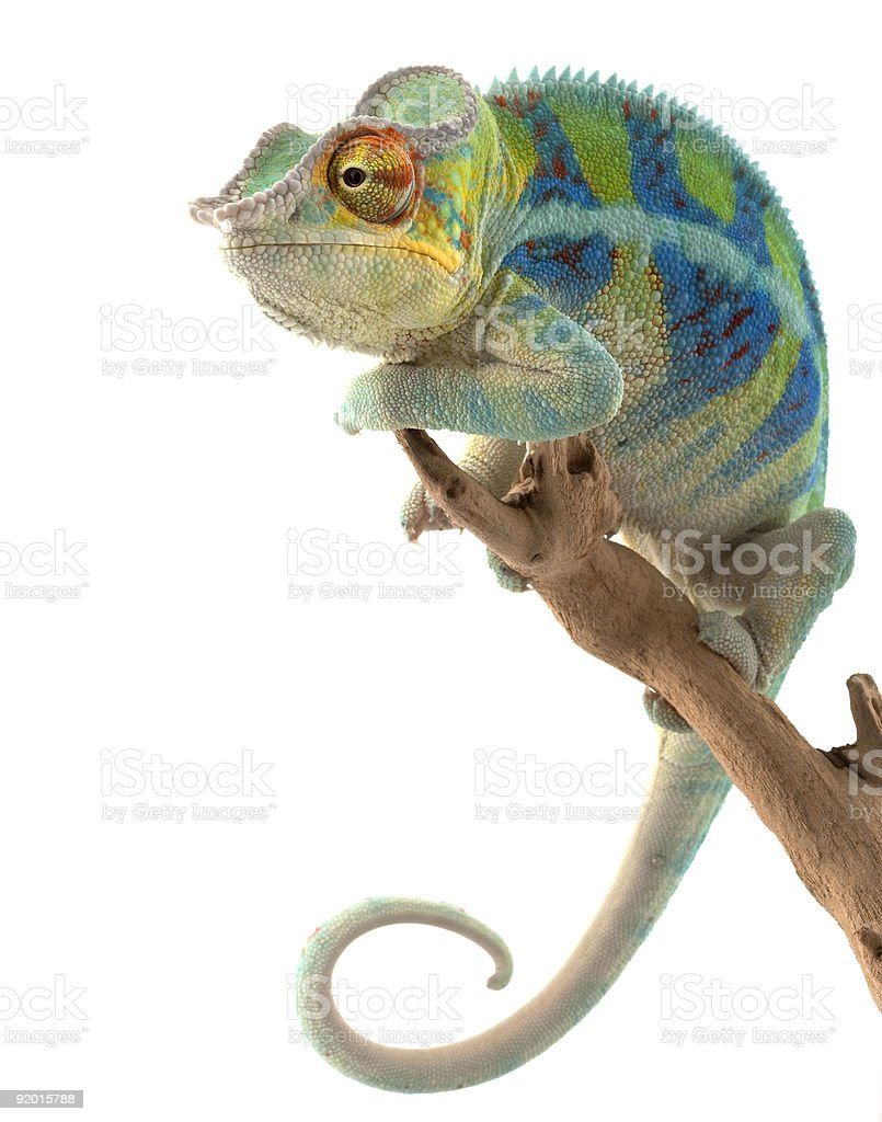 Ambanja Panther Chameleon stock photo