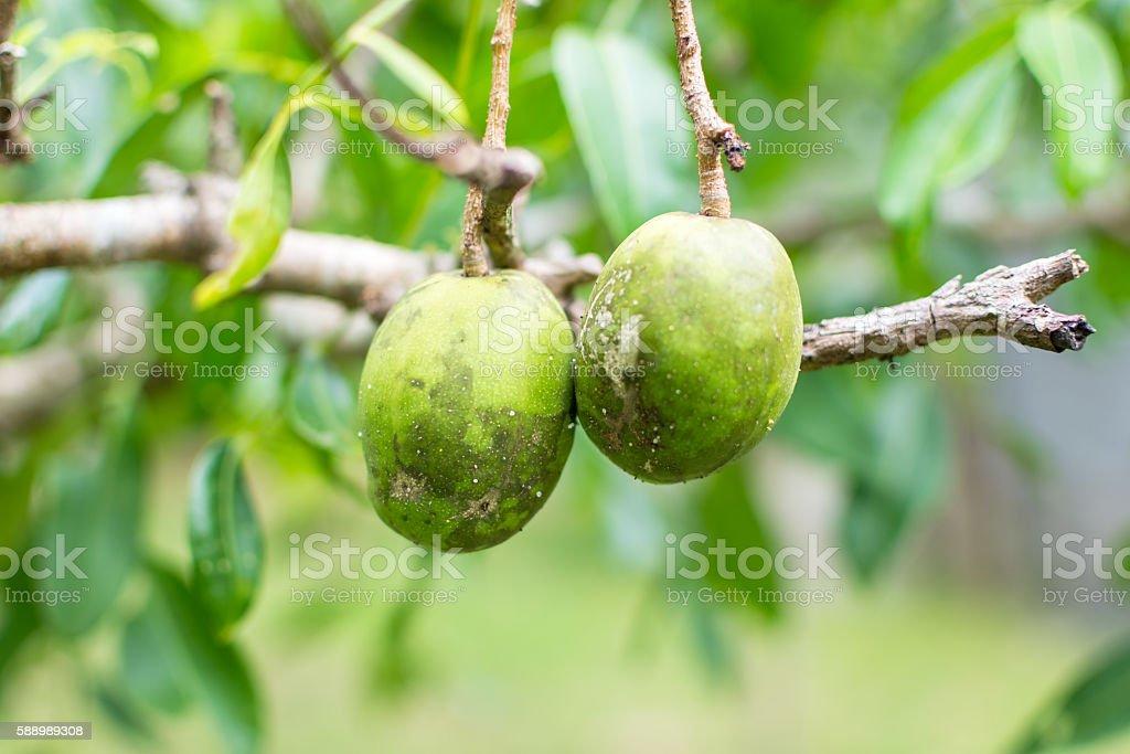 ambarella fruit stock photo