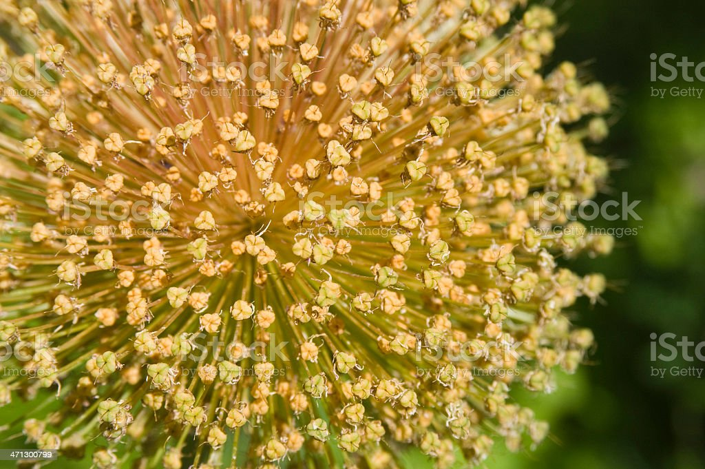 Ambassador Allium Giganteum stock photo