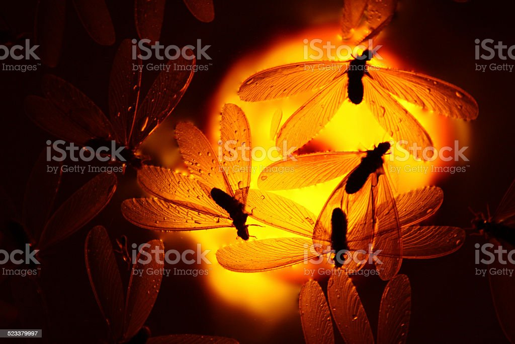 Amber Antflies (Gamu-gamo) stock photo