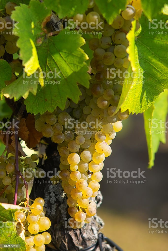 Amber grapes stock photo
