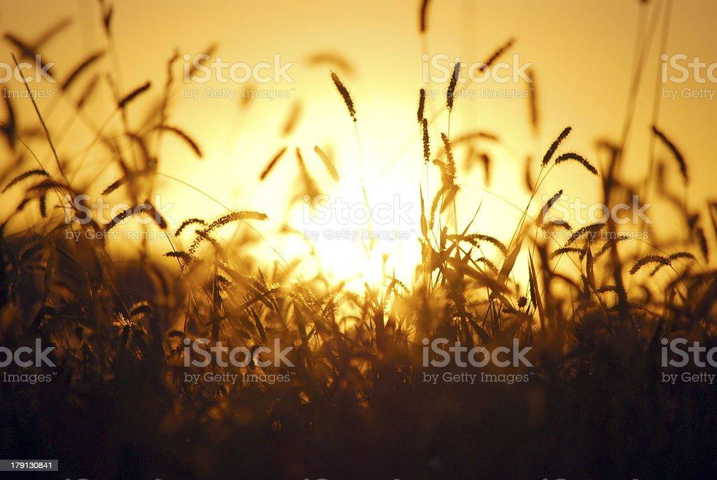 Amber herbe photo libre de droits
