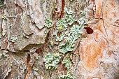 Amber pinewood tar and green moss on brown bark