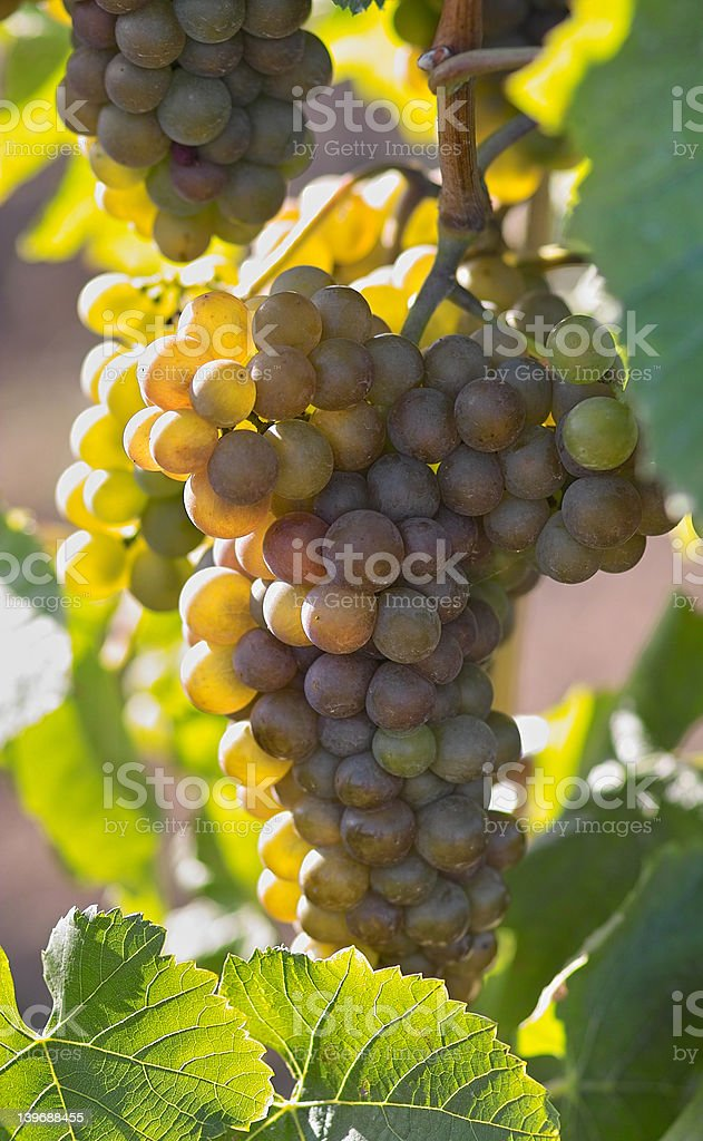 Amber tasty wine grapes royalty-free stock photo