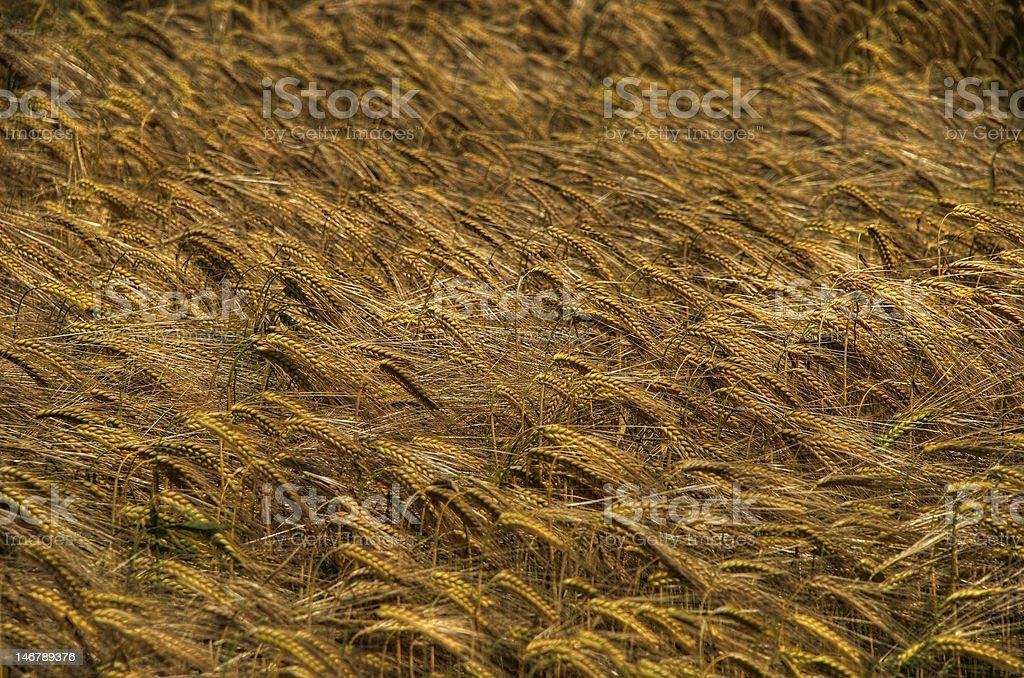 Amber waves of grain stock photo