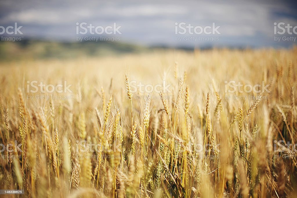 Amber Waves of Grain stock photo