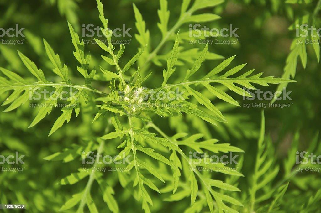 Ambrosia artimisiifolia-Ragweed stock photo