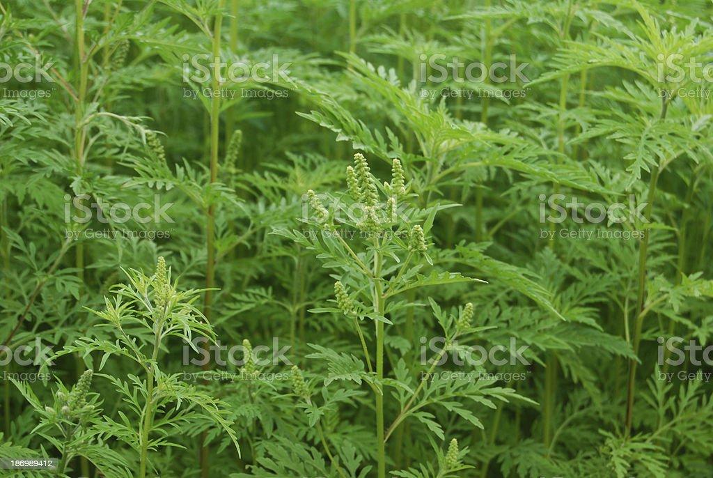 Ambrosia-Ragweed stock photo