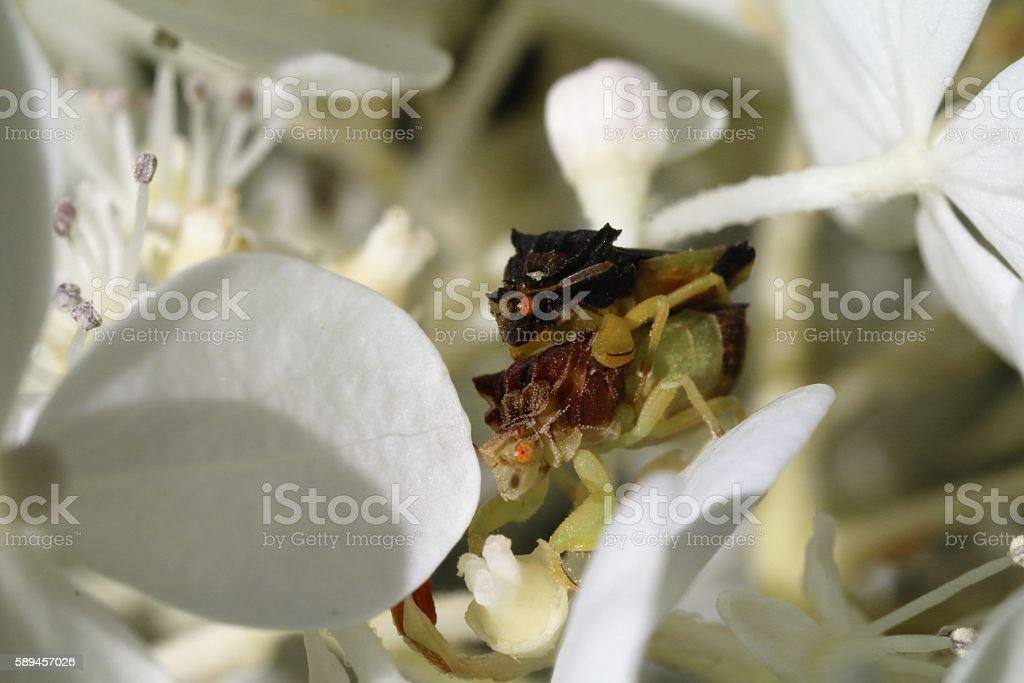 Ambush Bugs stock photo