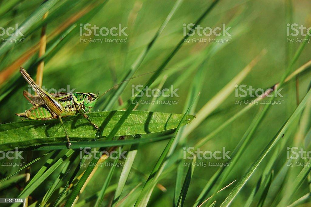ambushed grasshopper stock photo