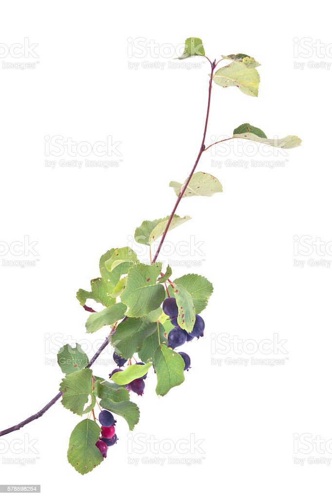 Amelanchier berry or currant stock photo
