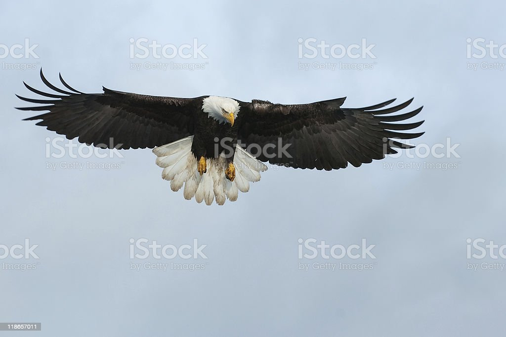 amercian bald eagle swooping down for a fish stock photo