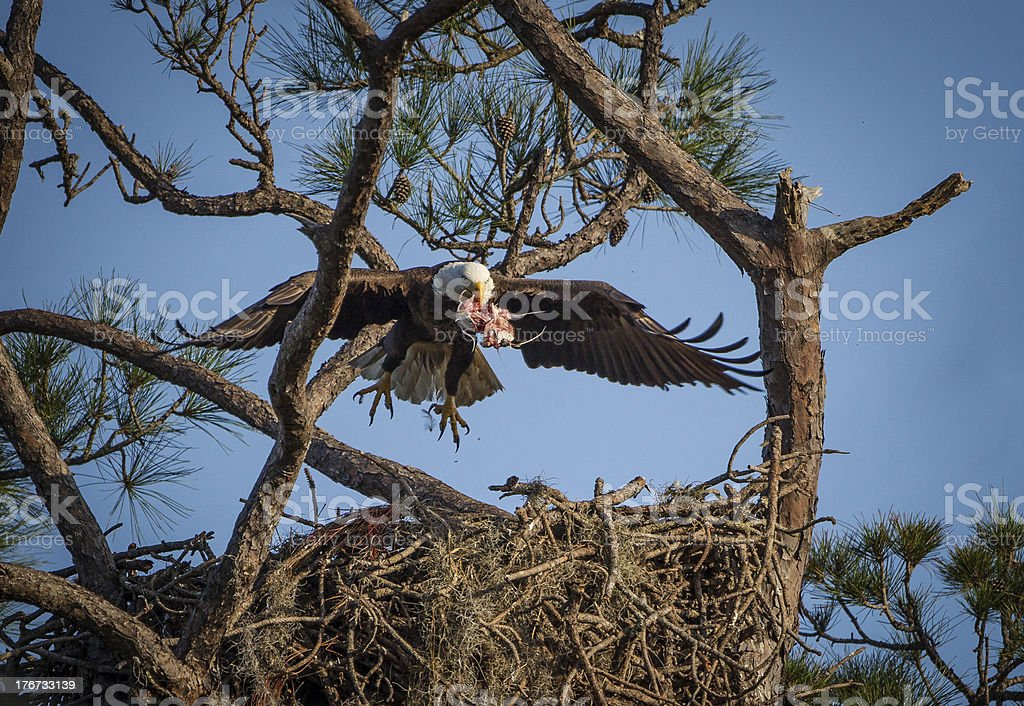 Americal bald eagle brings food to young royalty-free stock photo