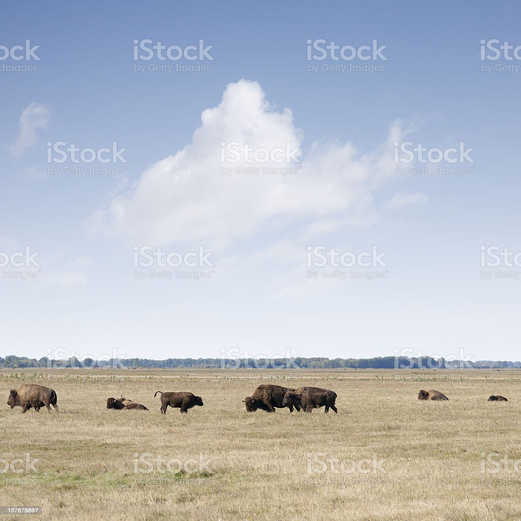 Americal bison grazing on brown prairie grass royalty-free stock photo