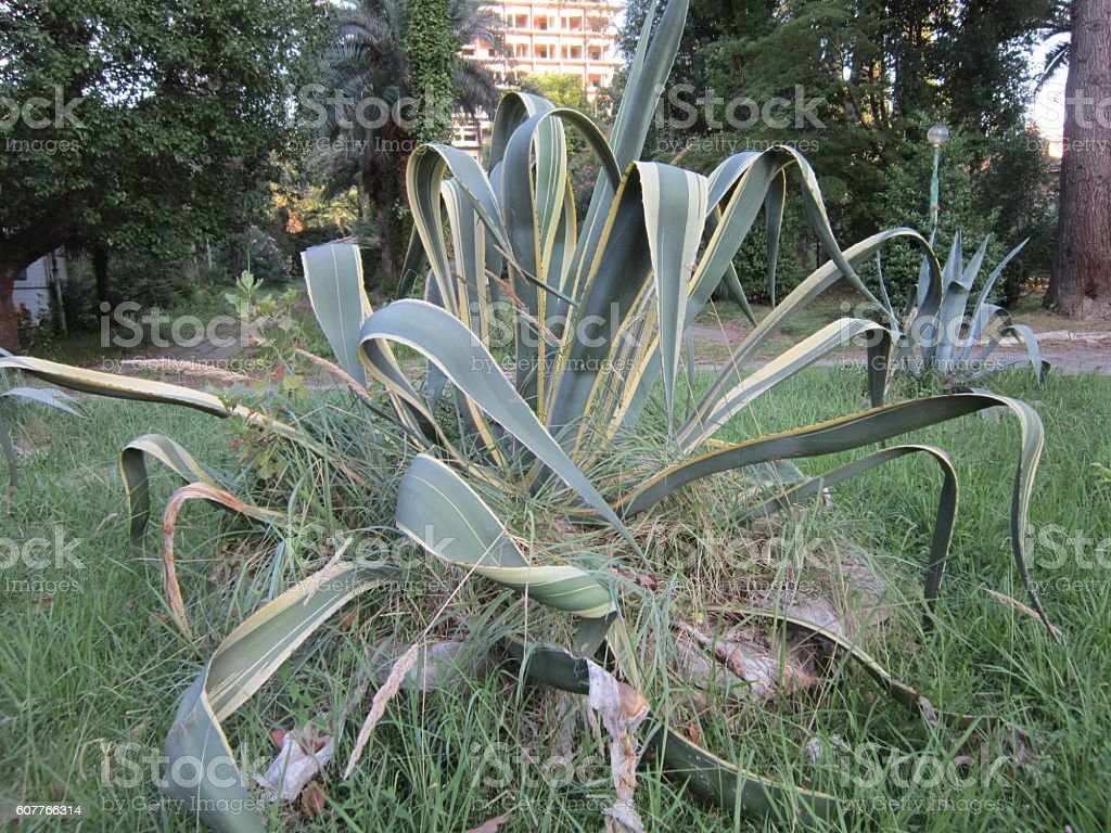 American agave stock photo