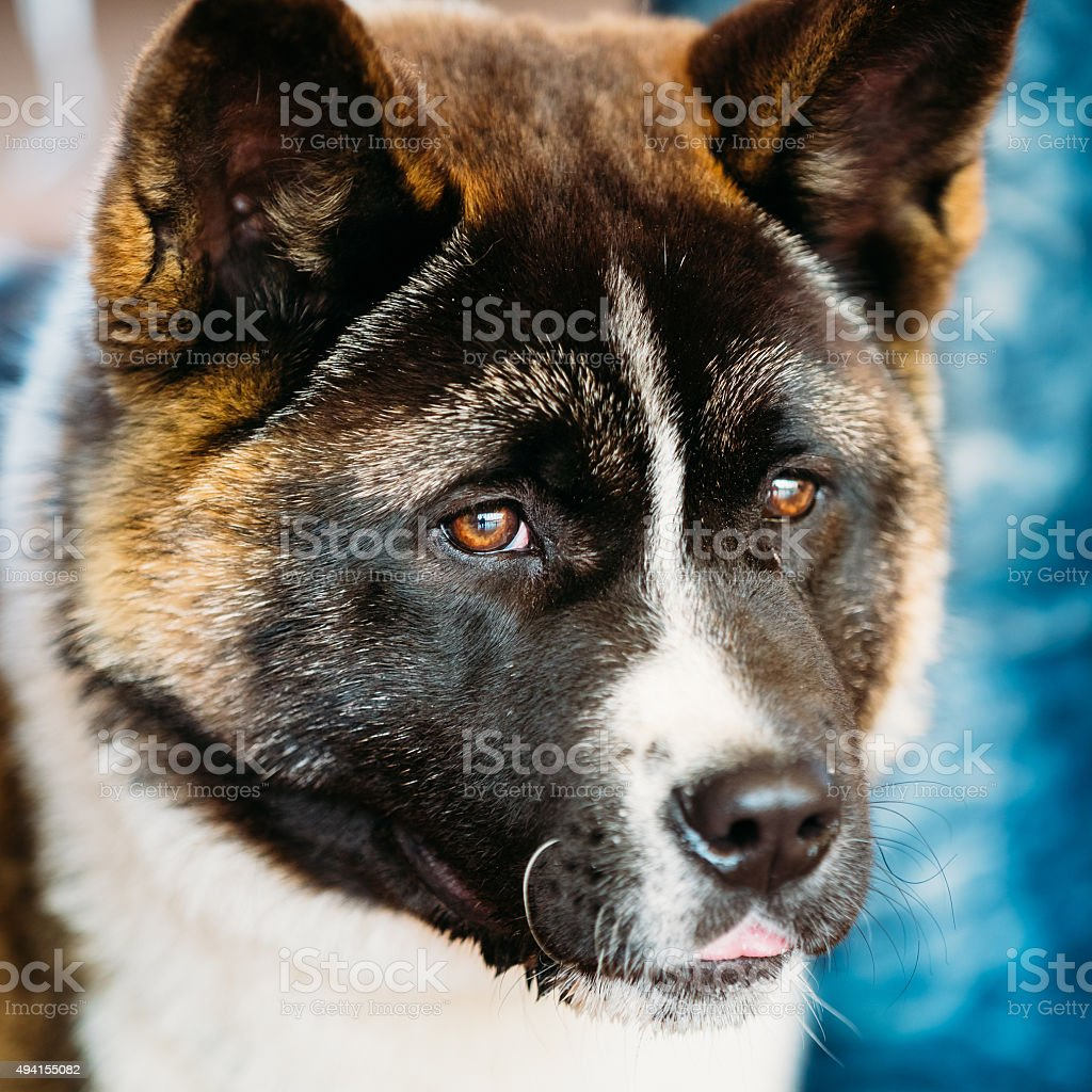 American Akita Dog Close Up stock photo