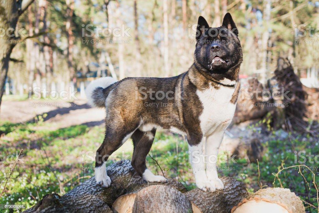 American Akita in the Park stock photo