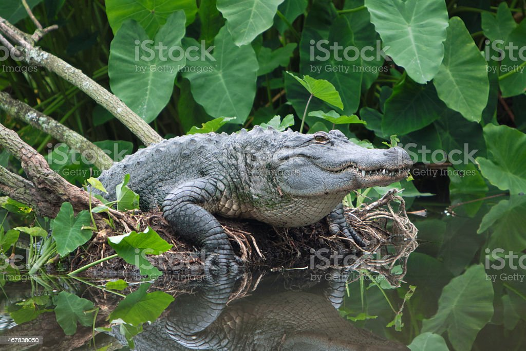 American Alligator Emerging from Florida Swamp stock photo