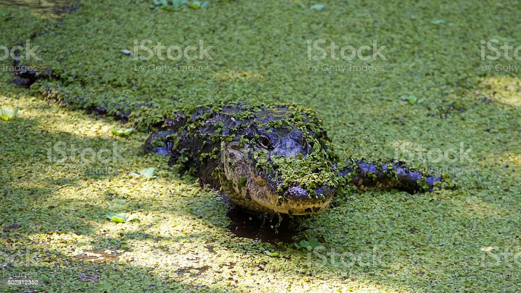 American Alligator Emerging from Pond Lettuce stock photo