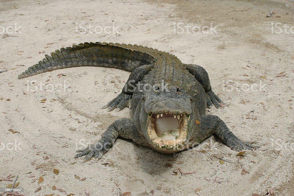 American Alligator - Everglades National Park stock photo