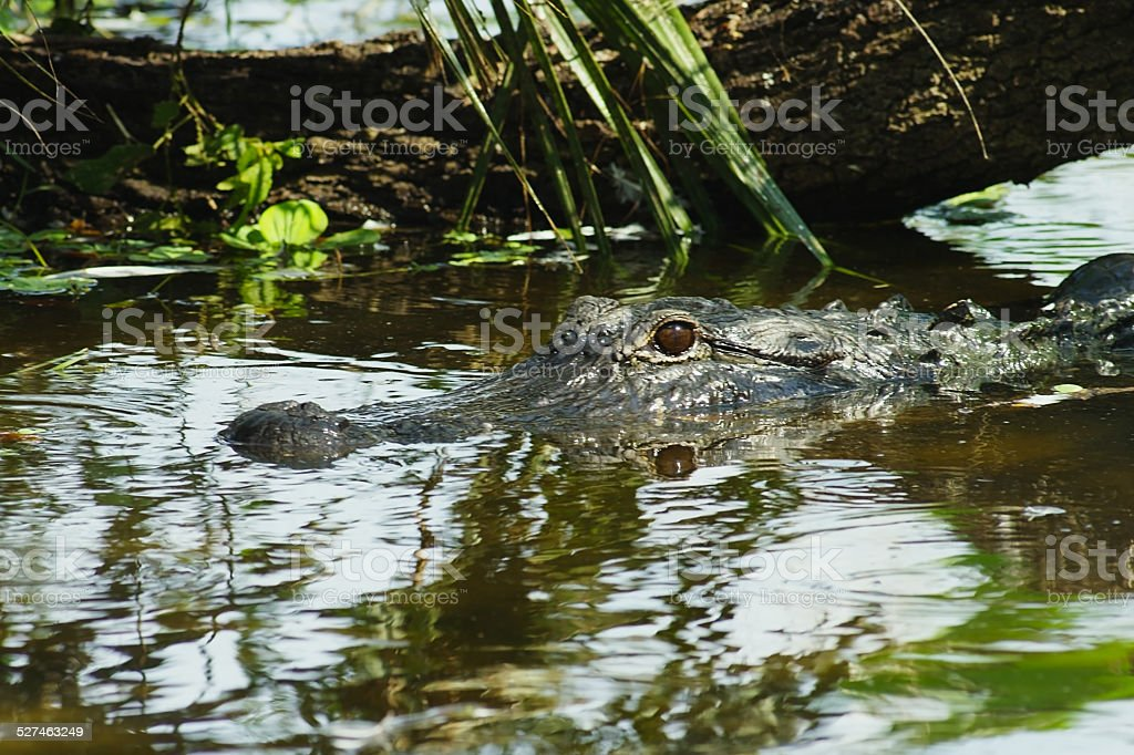 American Alligator Floating in Calm Waters in Southern Florida stock photo