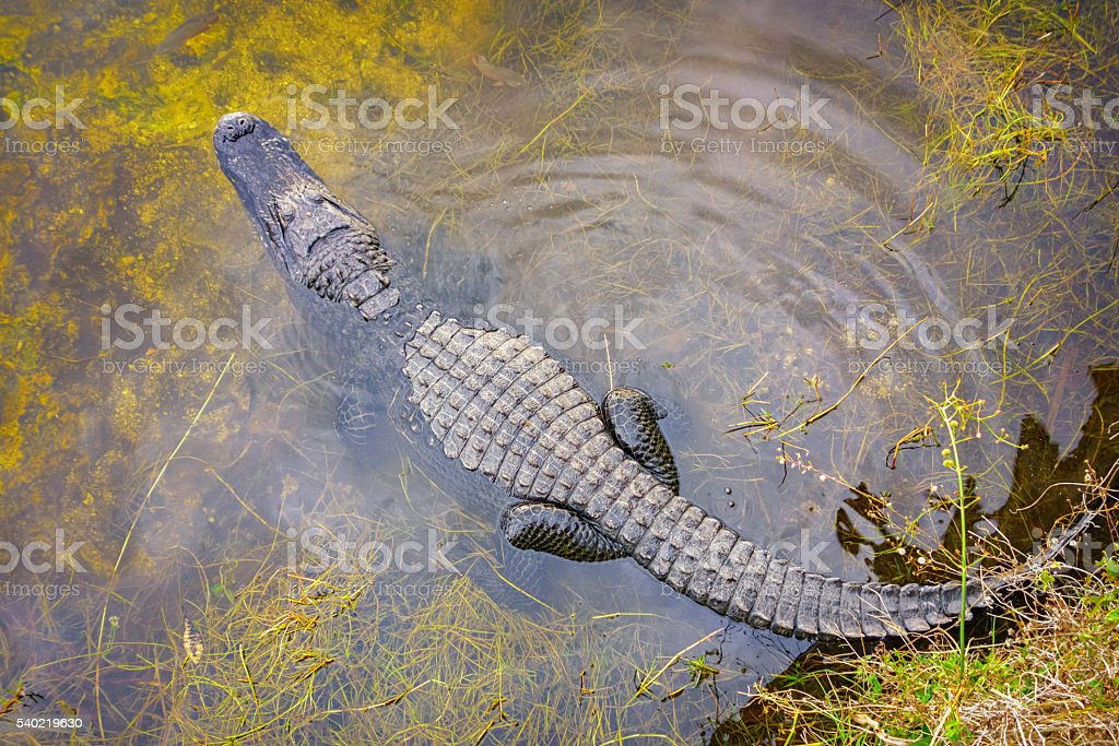 American Alligator in Florida stock photo