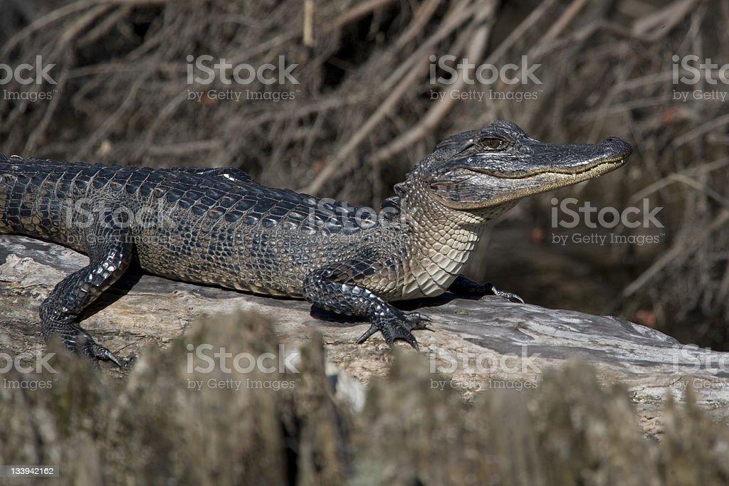 Peau d'Alligator américain dans les bayous de la Nouvelle-Orléans photo libre de droits
