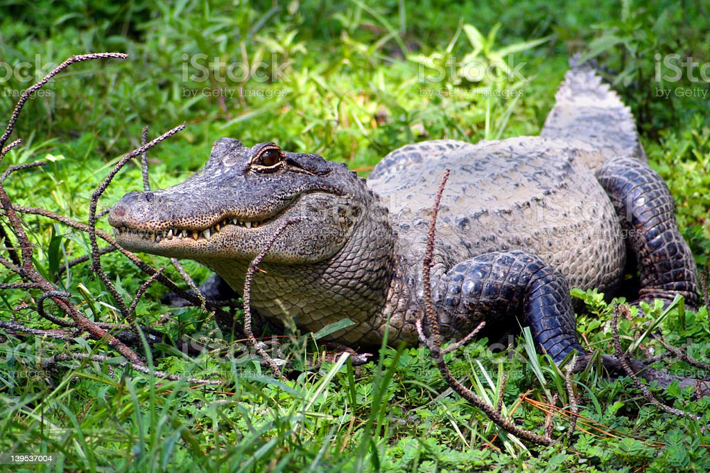 American alligator on green grass stock photo