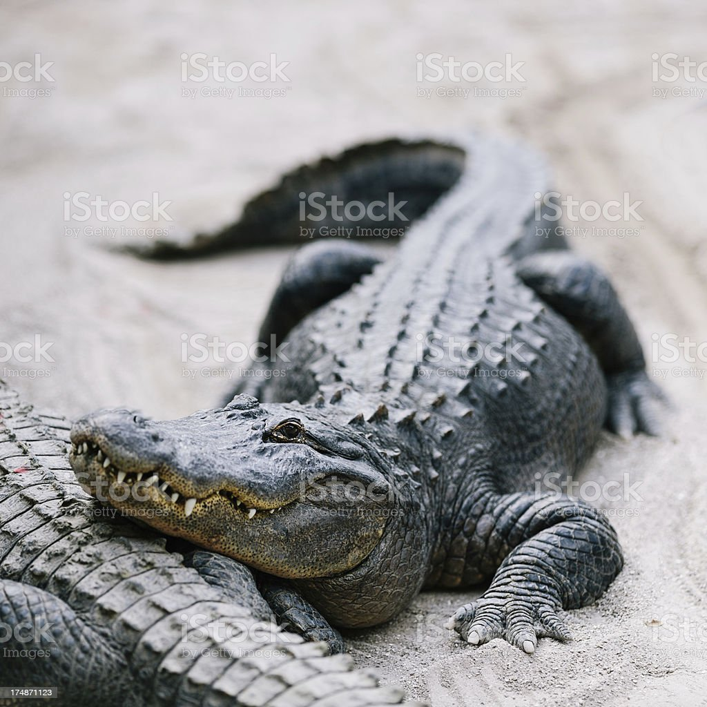 american alligator royalty-free stock photo