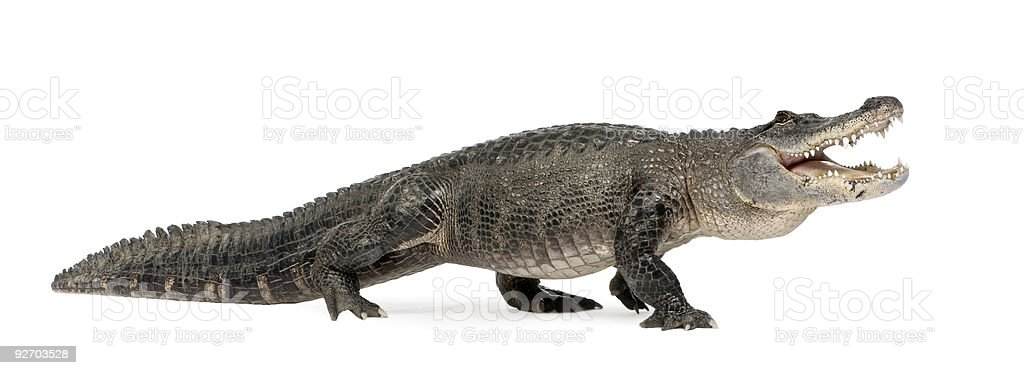 American Alligator (30 years) royalty-free stock photo