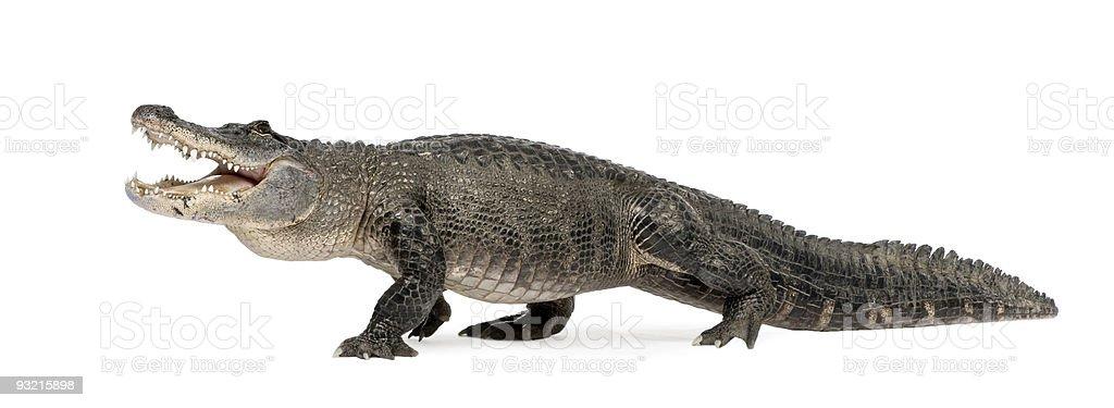 American Alligator (30 years) stock photo