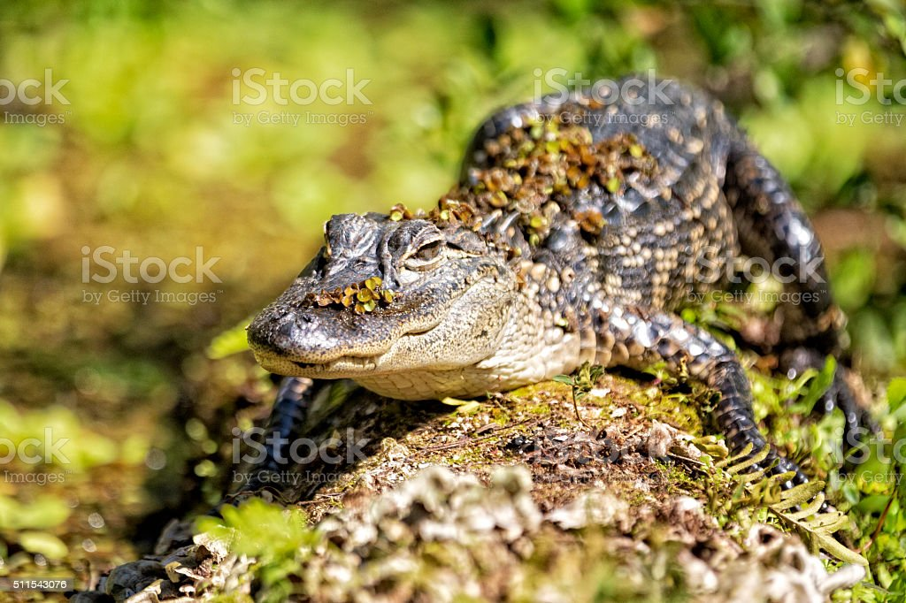 American Alligator Sunny Himself on a Log in the Swamp stock photo