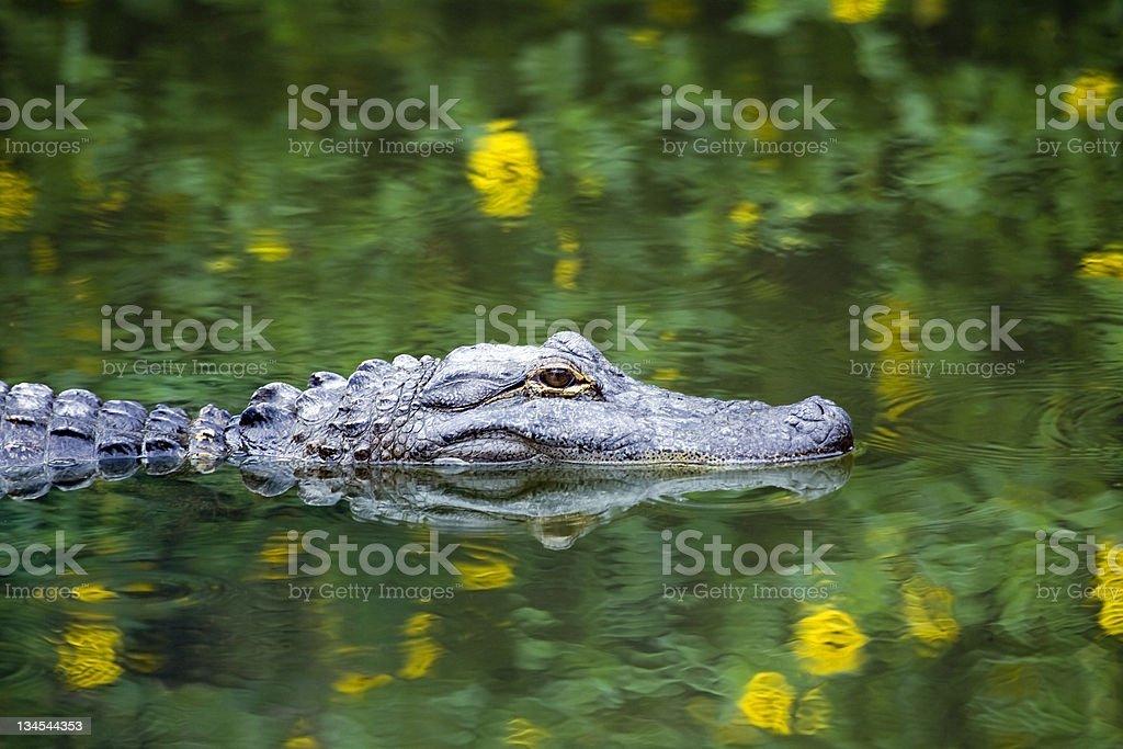 American Alligator Swimming in Everglades stock photo