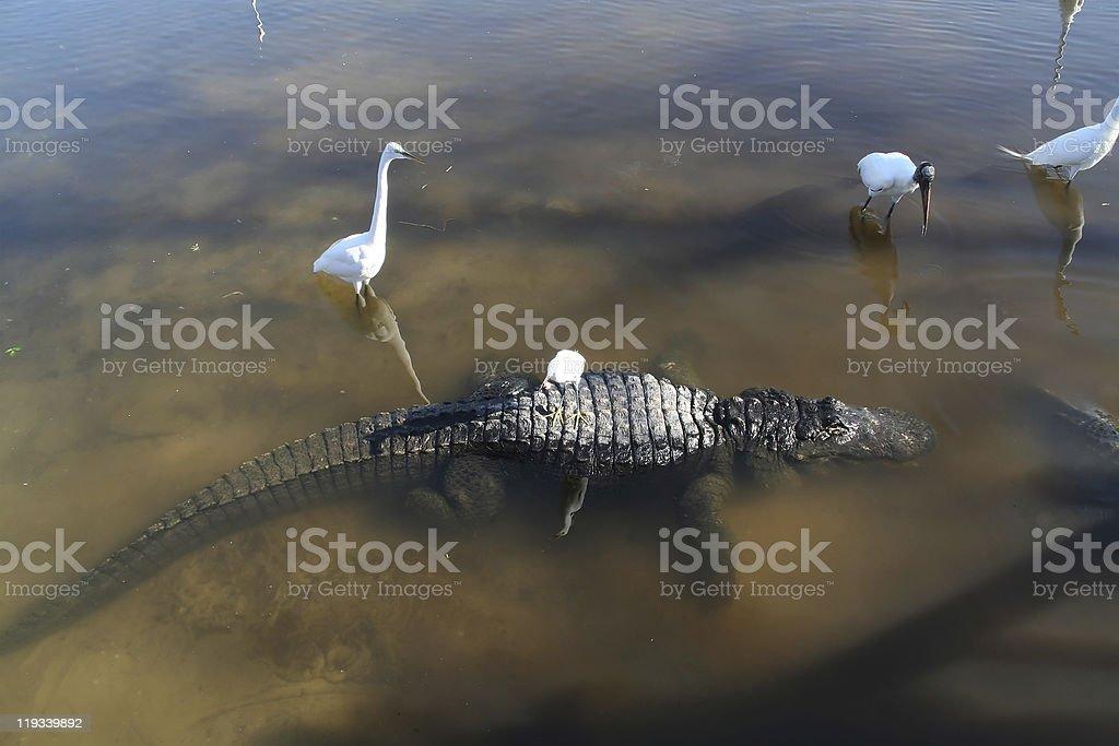American alligators and Great Egret stock photo