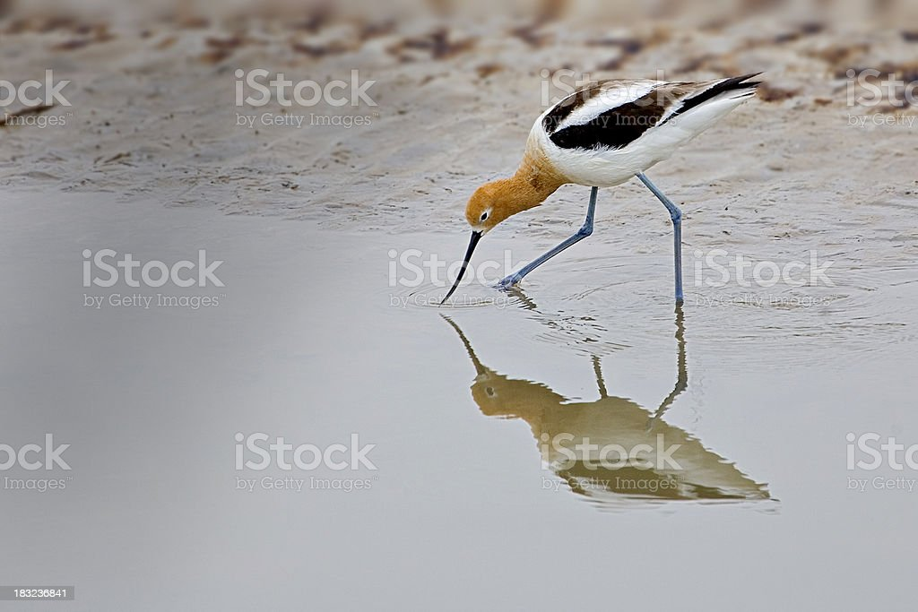 American Avocet a Wetland Bird. stock photo