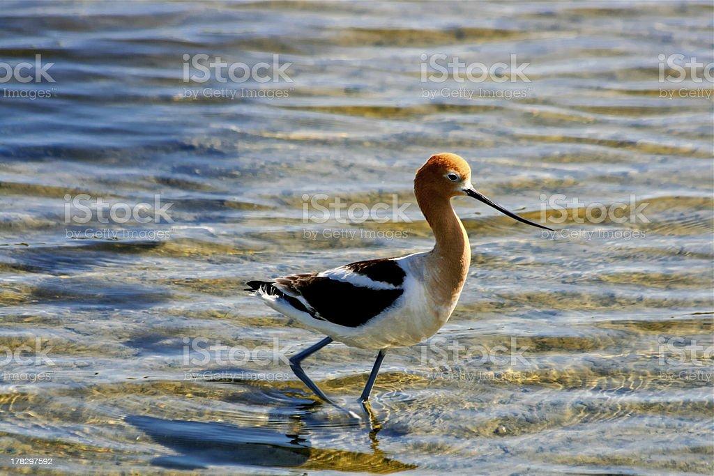 American Avocet Bird royalty-free stock photo